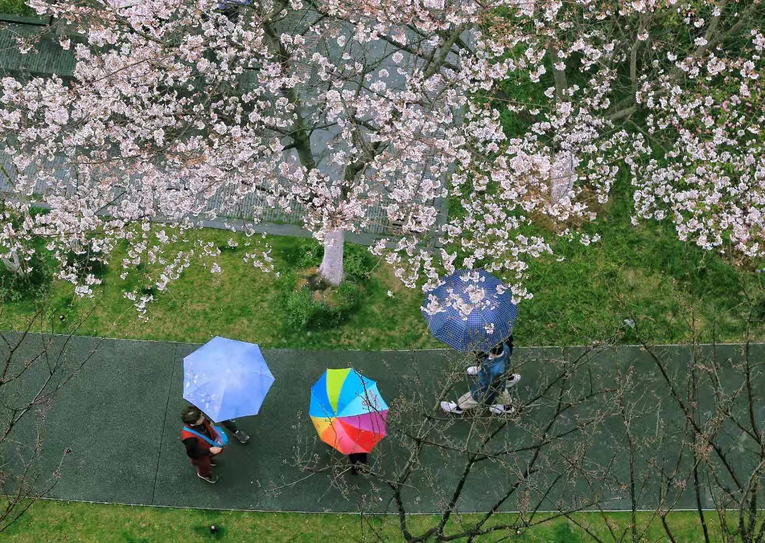 黑猫 《樱花纷纷伴春雨》 Canon.jpg