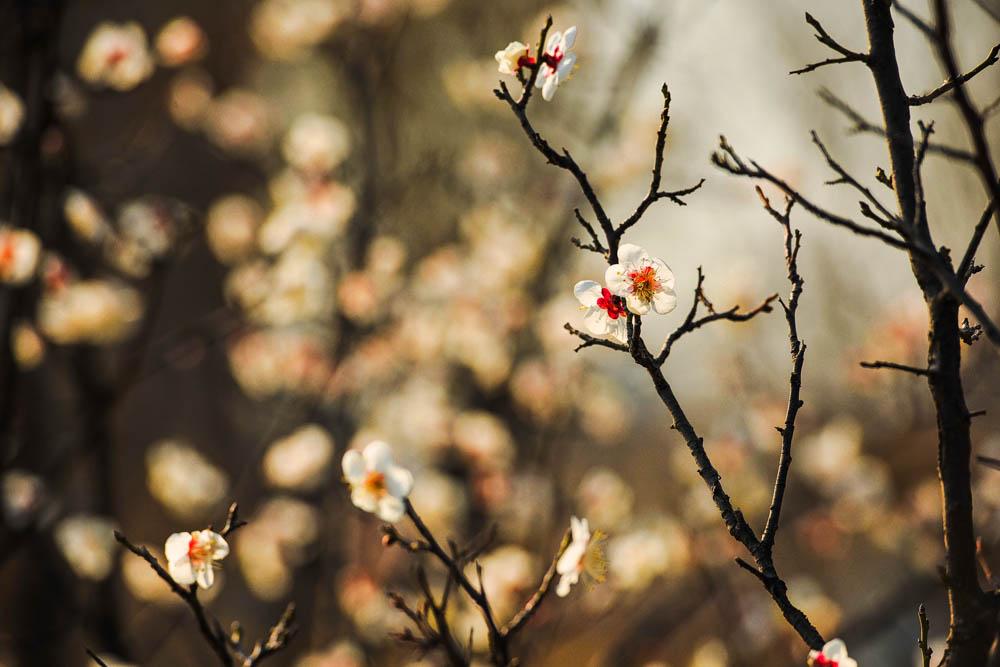 刘刚 《春花烂漫》 Nikon.jpg